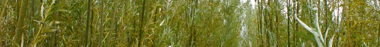 Weidenplantage